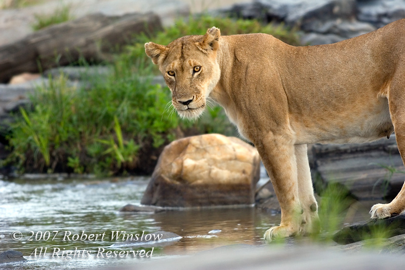 Female African Lion, Panthera leo, about to drink water, Masai Mara National Reserve, Kenya, Africa