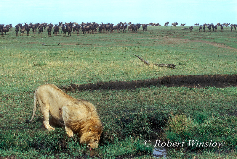 Male African Lion Drinking as Wildebeests watch in the Background, Panthera leo,  Masai Mara National Reserve, Kenya, Africa