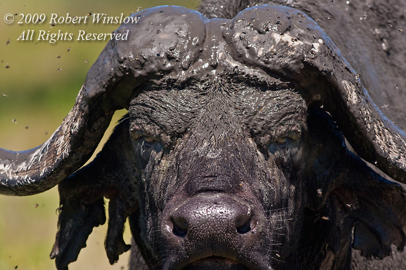 African Buffalo or Cape Buffalo, Syncerus caffer, Muddy Face, Lake Nakuru National Park, Kenya, Africa