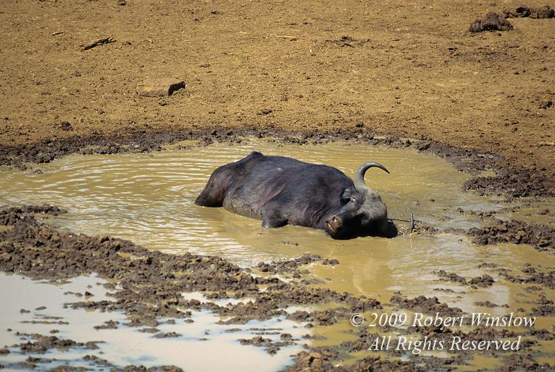 African Buffalo or Cape Buffalo, Syncerus caffer,  Taking a Mud Bath, Mountain Lodge, Mt. Kenya National Park, Kenya, Africa