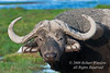African Buffalo or Cape Buffalo, Syncerus caffer, Amboseli National Park, Kenya, Africa