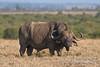 African Buffalo or Cape Buffalo, Syncerus caffer,  Ol Pejeta Conservancy , Kenya, Africa