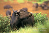 African Buffalo or Cape Buffalo, Syncerus caffer, Mountain Lodge, Mt. Kenya National Park, Kenya, Africa