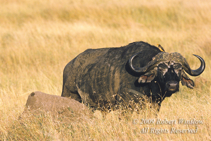 African Buffalo or Cape Buffalo, Syncerus caffer, With a Yellow-billed Oxpecker on its Back, Masai Mara National Reserve, Kenya, Africa