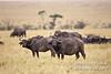 African Buffalo or Cape Buffalo, Syncerus caffer,  Masai Mara National Reserve, Kenya, Africa