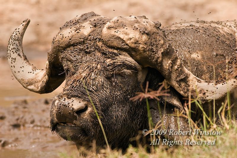 African Buffalo or Cape Buffalo, Syncerus caffer, In the Mud, Lake Nakuru National Park, Kenya, Africa
