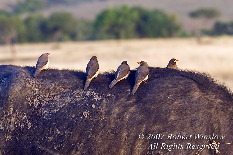 Yellow-billed Oxpeckers, Buphagus a. africanus,  and one Red-billed Oxpecker, Buphagus erythrorhynchus, on African Buffalo, Synerus caffer,  Masai Mara National Reserve, Kenya, Africa