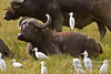 African Buffalo or Cape Buffalo, Syncerus caffer, With a Cattle Egret on its Back, Lake Nakuru National Park, Kenya, Africa