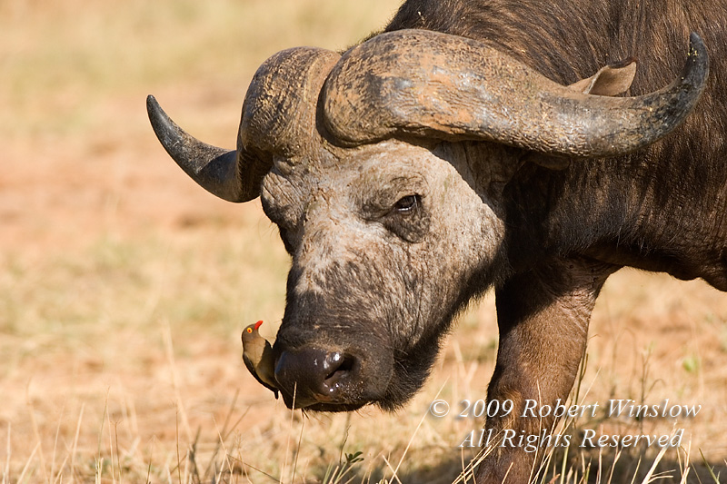 African Buffalo or Cape Buffalo, Syncerus caffer, Red-billed Oxpecker on its nose, Samburu National Reserve, Kenya, Africa