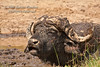 African Buffalo or Cape Buffalo, Syncerus caffer, In the Mud, Lake Nakuru National Park, Kenya, Africa
