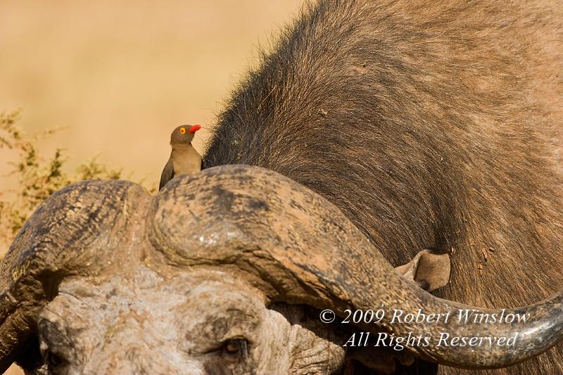 Red-billed Oxpecker on an African Buffalo or Cape Buffalo, Syncerus caffer, Samburu National Reserve, Kenya, Africa