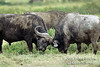 African Buffalo or Cape Buffalo, Syncerus caffer, Butting Heads, Lake Nakuru National Park, Kenya, Africa