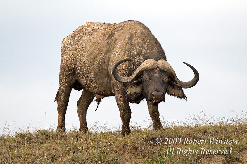 African Buffalo or Cape Buffalo, Syncerus caffer, Lake Nakuru National Park, Kenya, Africa