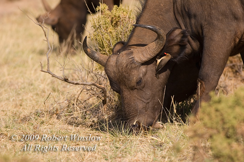 African Buffalo or Cape Buffalo, Syncerus caffer, Samburu National Reserve, Kenya, Africa