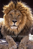 Male Asiatic lion, Panthera leo persica, also known as the Indian lion, is a lion subspecies that exists as a single isolated population in India's Gujarat State. It is listed as Endangered by IUCN, Captive in a zoo