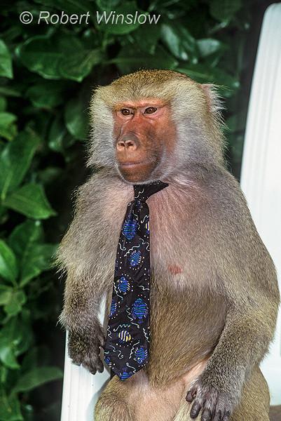 Hamadryas baboon, Papio hamadryas, controlled conditions