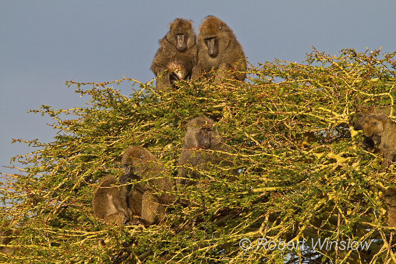 Olive baboon, Papio anubis, also called the Anubis baboon, Ol Pejeta Conservancy, Kenya, Africa