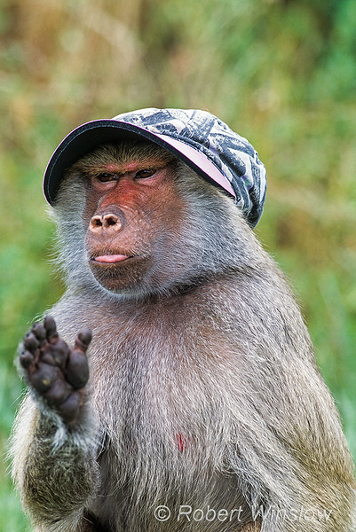 Hamadryas baboon, Papio hamadryas, wearing a hat, controlled conditions