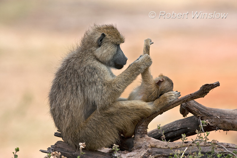 Mother and Baby, Yellow Baboons, Papio c. cynocephalus, Amboseli National Park, Kenya, Africa