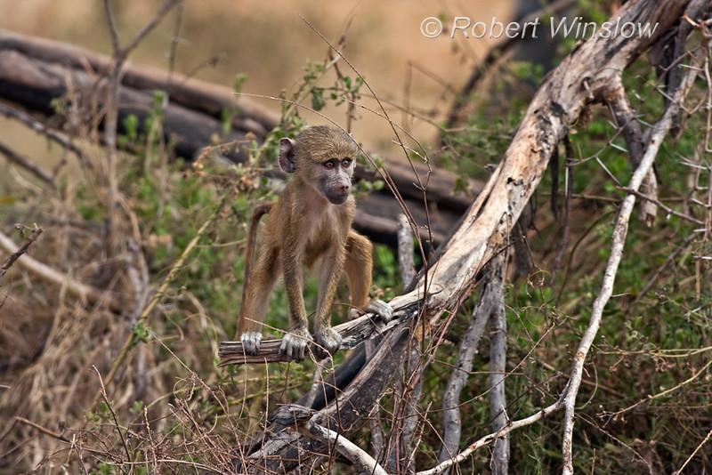 Yellow Baboon Baby, Papio c. cynocephalus, Amboseli National Park, Kenya, Africa