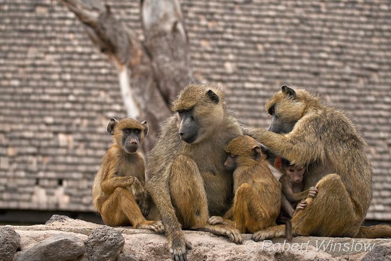 Yellow Baboon Family, Papio c. cynocephalus, Amboseli National Park, Kenya, Africa, Cercopithecidae Family