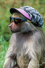 Hamadryas baboon, Papio hamadryas, wearing a hat and sunglasses, controlled conditions