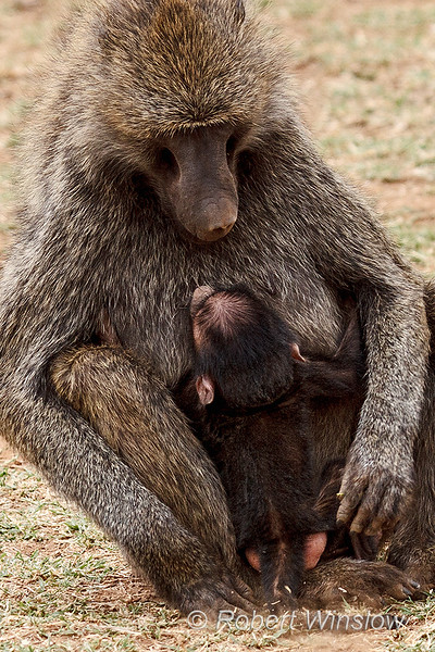 Mother and Baby, Olive baboon, Papio anubis, also called the Anubis baboon, Samburu National Reserve, Kenya, Africa