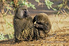 Olive baboon, Papio anubis, also called the Anubis baboon, Grooming, Samburu National Reserve, Kenya, Africa