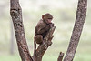 Baby, Olive baboon, Papio anubis, also called the Anubis baboon, Lake Nakuru National Park, Kenya, Africa