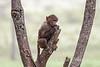 Baby, Olive baboon, Papio anubis, also called the Anubis baboon, Lake Nakuru National Park, Kenya, Africa