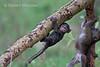 Baby Olive Baboon, Papio anubis, Lake Nakuru National Park, Kenya, Africa