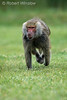 Hamadryas baboon, Papio hamadryas, running, controlled conditions