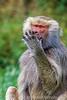 Speak No Evil, Hamadryas baboon, Papio hamadryas, controlled conditions