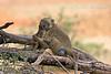 Mother and Baby, Yellow Baboons, Papio c. cynocephalus, Amboseli National Park, Kenya, Africa