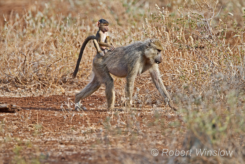Baby and Adult Yellow Baboons, Papio c. cynocephalus, Tsavo West National Park, Kenya, Africa