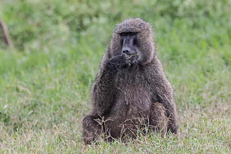 Olive baboon, Papio anubis, Lake Nakuru National Park, Kenya, Africa