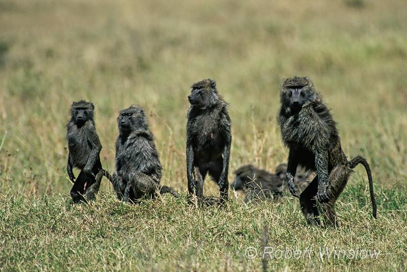 Olive baboon, Papio anubis, also called the Anubis baboon, Standing, Alert for Danger, Masai Mara  National Reserve, Kenya, Africa