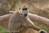 Yellow Baboon, Papio c. cynocephalus, Amboseli National Park, Kenya, Africa