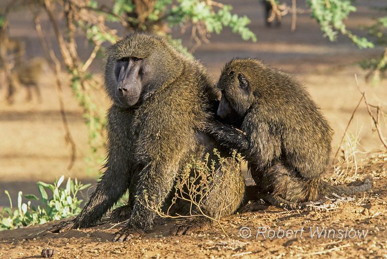 Olive baboon, Papio anubis, also called the Anubis baboon, Grooming, Samburu National Reserve, Kenya, Africa