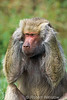 Hear No Evail, Hamadryas baboon, Papio hamadryas, controlled conditions