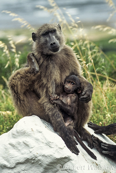 Chacma baboon, Papio ursinus, also known as the Cape baboon, South Africa, Africa