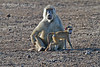 Baby and Adult Yellow Baboons, Papio c. cynocephalus, Tsavo East National Park, Kenya, Africa