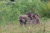 Olive baboon, Papio anubis, mother and baby,  Lake Nakuru National Park, Kenya, Africa