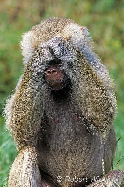 See No Evil, Hamadryas baboon, Papio hamadryas, controlled conditions