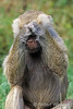 See No Evil, Hamadryas baboon, Papio hamadryas, controlled conditions