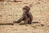 Baby, Olive baboon, Papio anubis, also called the Anubis baboon, Samburu National Reserve, Kenya, Africa