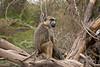 Yellow Baboons, Papio c. cynocephalus, Amboseli National Park, Kenya, Africa