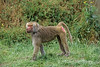 Hamadryas baboon, Papio hamadryas, controlled conditions