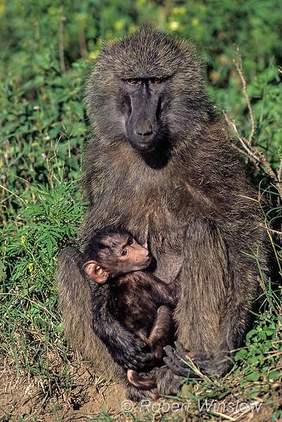 Olive baboon, Papio anubis, mother and baby, Samburu Nature Reserve, Kenya, Africa