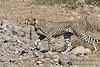 Cheetah Stalking (Acinonyx jubatus), Amboseli National Park, Kenya, Africa